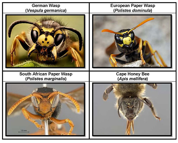 Wasp ID guide Version 3 Page 3LR